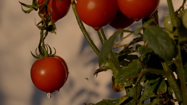 SLO MO Wet Tomatoes On The Vine