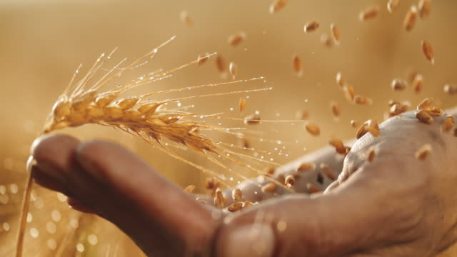 slo mo wet wheat grains falling on a palm - barley stock videos and b-roll footage