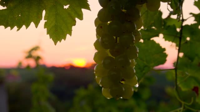 vídeos y material grabado en eventos de stock de cu ds área de blanco uvas al atardecer - manojo