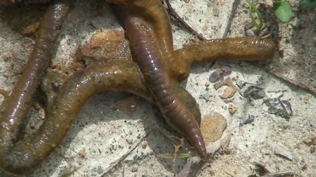 Wet Wurm