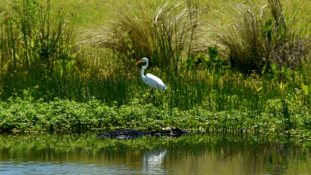 wetland alligator with uneasy great egret moving away - great egret stock videos and b-roll footage
