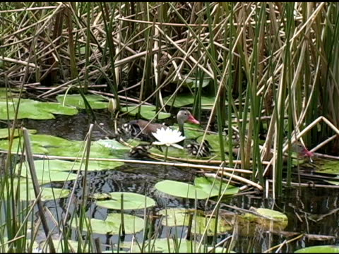 wetland babies - lily family stock videos & royalty-free footage