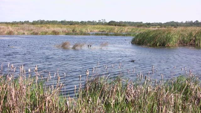 stockvideo's en b-roll-footage met wetlands with coots - koet