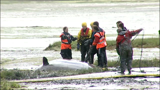 whale and workers around pontoons carried along to support whale and whale's tail thrashing around as tide comes in - cetacea stock videos and b-roll footage