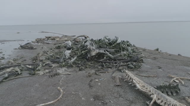 whale bone graveyard in kaktovik, alaska - bone stock videos & royalty-free footage