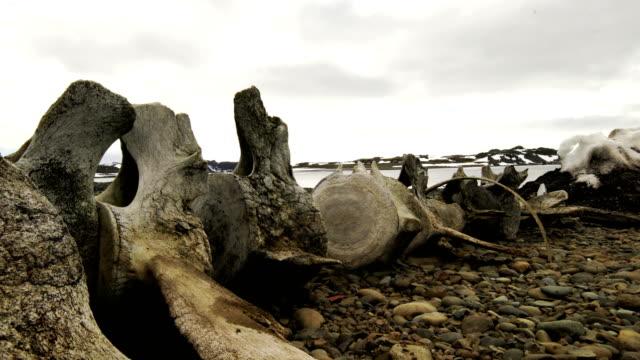 whale bones at antarctica - animal skeleton stock videos & royalty-free footage