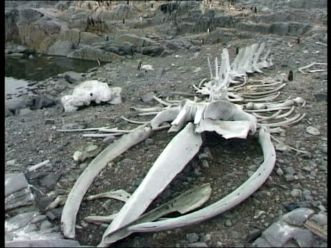 ms whale bones on rocky shore, antarctica - bone stock videos & royalty-free footage