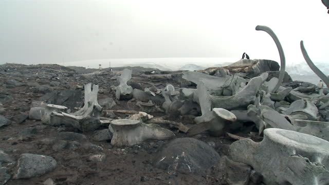 ms, pan, whale bones, port lockroy, antarctica - cetacea stock videos & royalty-free footage