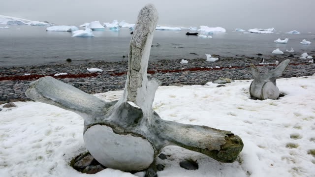 whale bones - antarctica whale stock videos & royalty-free footage