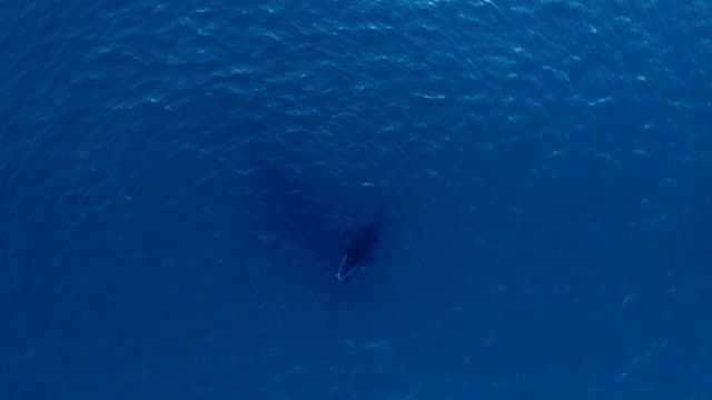 Whale Calf Comes Up for Air