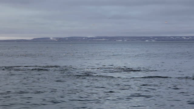 whale tauchgänge - blauwal stock-videos und b-roll-filmmaterial