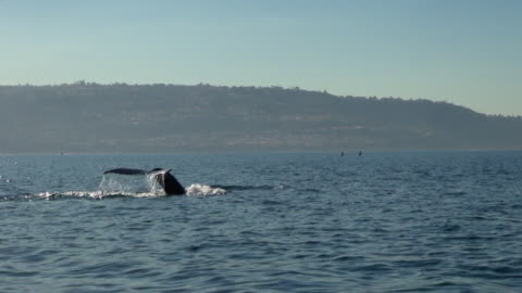 whale diving down with tale showing - north stock videos & royalty-free footage