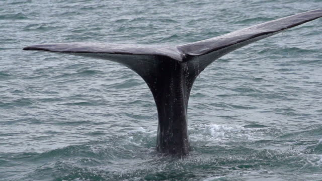 slow motion: whale diving - tail stock videos & royalty-free footage