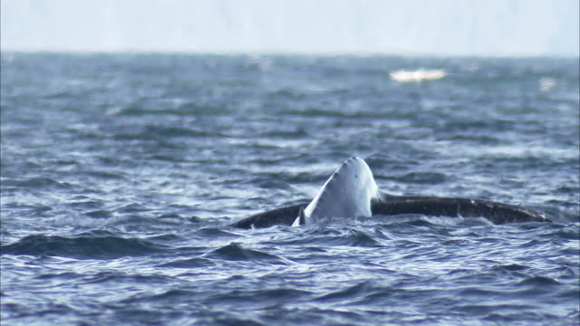 stockvideo's en b-roll-footage met a whale exposes its fluke as it dives. - staartjes