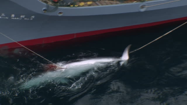a whale is tied off and brought alongside a whaling ship. - whaling stock videos & royalty-free footage