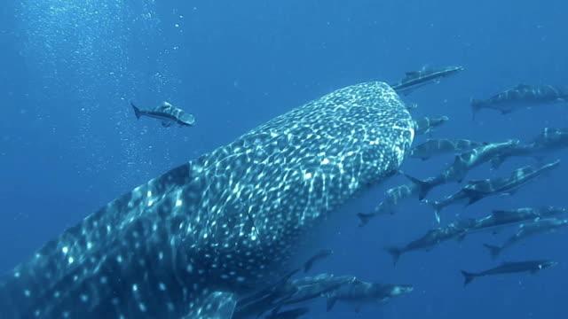 Walhai (Rhincodon Typen) und Cobia (Rachycentron Canadum) schwimmen zusammen. Die Lage ist der Andaman Sea, Thailand. Dies ist eine klassische Anzeige von ur das instinktive Verhalten der Tiere. Eine symbiotische Beziehung, die ihr Überleben sichert.