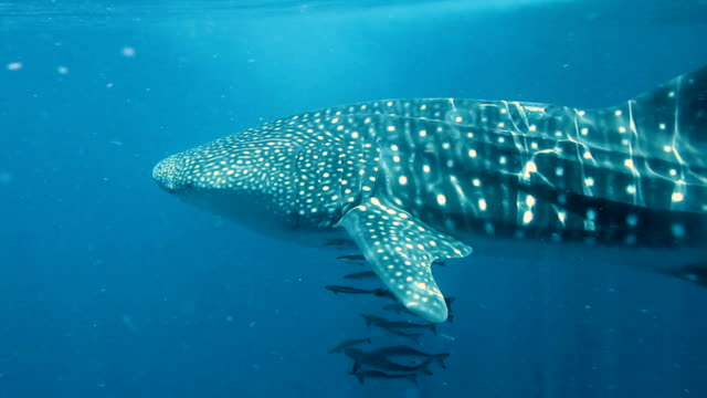 Whale Shark (Rhincodon types) and Cobia (Rachycentron canadum) swimming together. The location is the Andaman Sea, Krabi, Thailand. This is a classic display of primal instinctive animal behavior. A symbiotic relationship that ensures their survival.