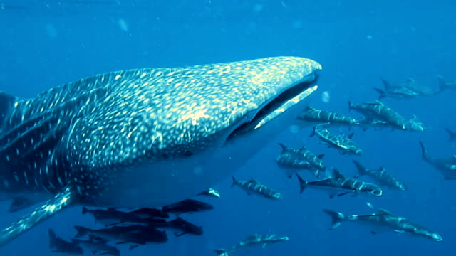 Whale Shark (Rhincodon types) and Cobia (Rachycentron canadum) swimming together. The location the Andaman Sea, Krabi, Thailand. This is a classic display of primal instinctive animal behavior. A symbiotic relationship that ensures their survival.