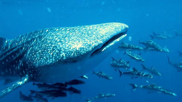 Walhai (Rhincodon Typen) und Cobia (Rachycentron Canadum) schwimmen zusammen. Die Lage der Andamanensee, Krabi, Thailand. Dies ist eine klassische Anzeige von ur das instinktive Verhalten der Tiere. Eine symbiotische Beziehung, die ihr Überleben sichert.