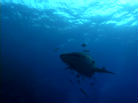 whale shark and diver - tauchgerät stock-videos und b-roll-filmmaterial