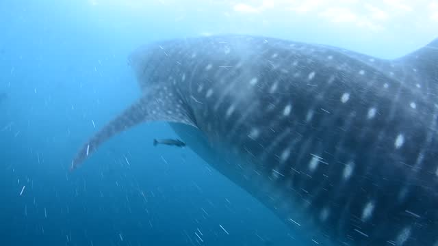 whale shark and divers. - underwater camera stock videos & royalty-free footage