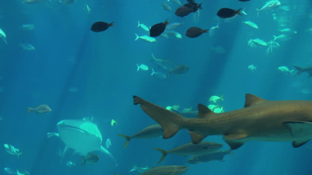ms whale shark (rhincodon typus) and group of fish swimming in georgia aquarium / atlanta, georgia, usa  - 水族館点の映像素材/bロール