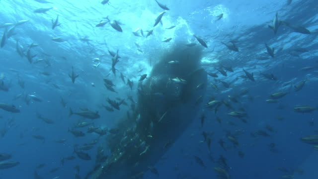 vidéos et rushes de whale shark (rhincodon typus) and yellowfin tuna (thunnus albacares) feed on shoal of tiny fish, venezuela - groupe d'animaux