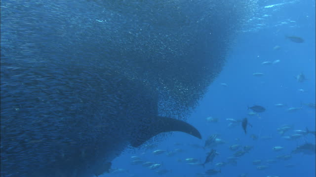 whale shark (rhincodon typus) and yellowfin tuna (thunnus albacares) feed on shoal of tiny fish, venezuela - walhai stock-videos und b-roll-filmmaterial