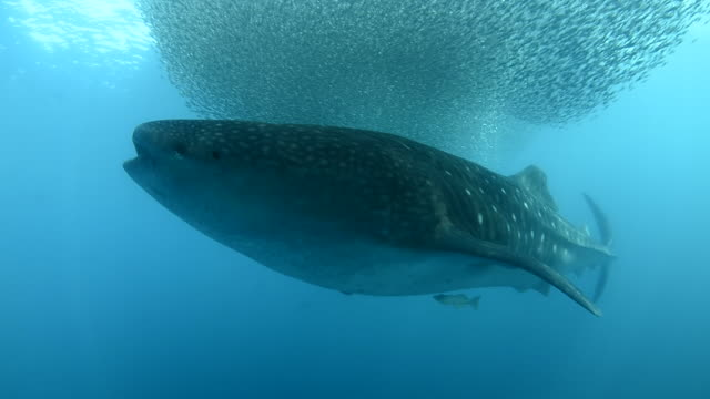 Whale Shark and Yellowfin tuna feeding on bait fish.