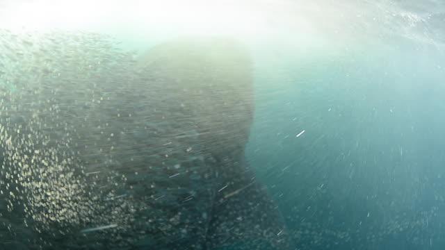 Whale Shark and Yellowfin tuna feeding on bait fish.