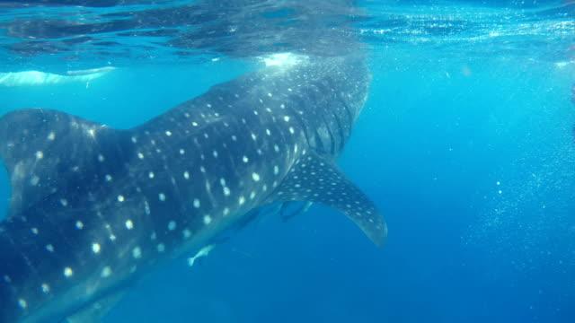 whale shark at oslob cebu in the philippines - sottomarino mezzo di trasporto marittimo video stock e b–roll