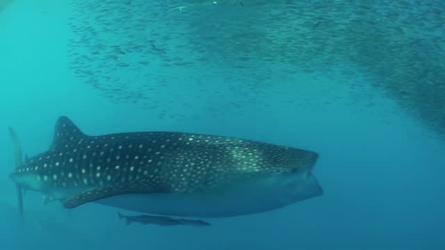 Whale shark attempting to feed on a large school of bait fish under a floating fishing platform, Cenderawasih Bay, Indonesia.