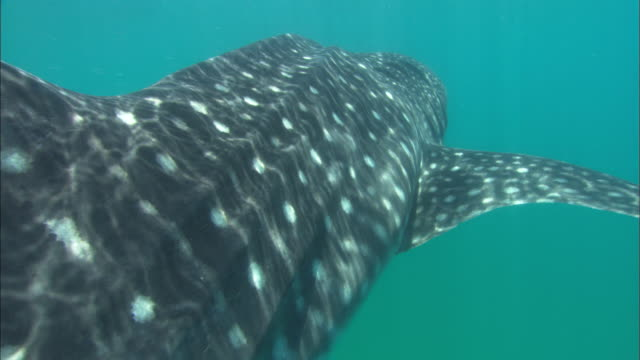whale shark, camera to dorsal fin, mozambique  - dorsal fin stock videos and b-roll footage