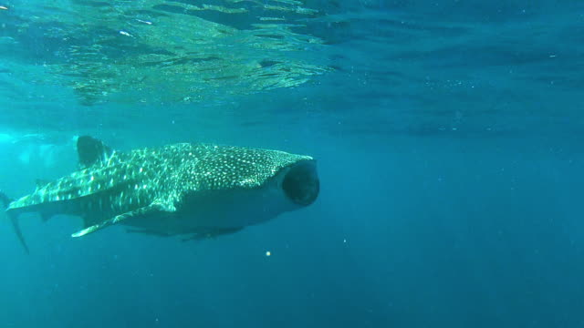 a whale shark cruising the ocean surface - baleine stock videos & royalty-free footage