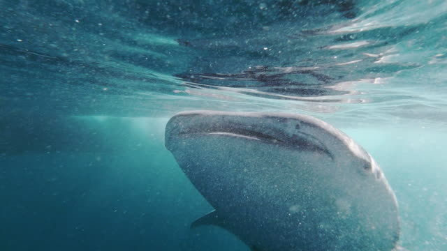 whale shark (rhincodon typus) endangered species swimming in the sea approaching photographer - remora fish stock videos & royalty-free footage