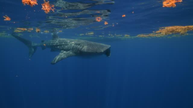 a whale shark feeding near the surface of the water - walhai stock-videos und b-roll-filmmaterial