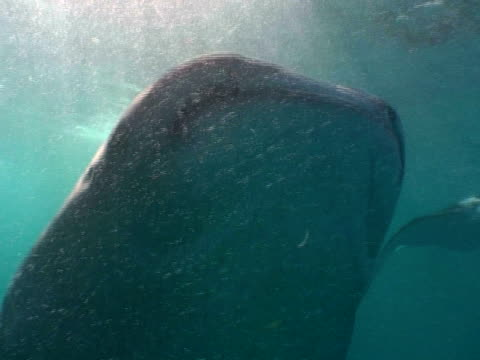stockvideo's en b-roll-footage met whale shark (rhincodon typus) feeding, cu of open mouth, divers in background, maldives - plankton