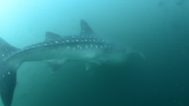 whale shark feeding. - gill stock videos & royalty-free footage