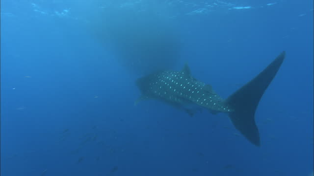 whale shark (rhincodon typus) feeds on shoal of tiny fish, venezuela - animal fin stock videos & royalty-free footage