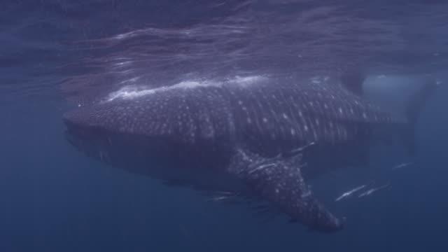 Whale shark (Rhincodon typus) filter feeds in blue sea, Qatar