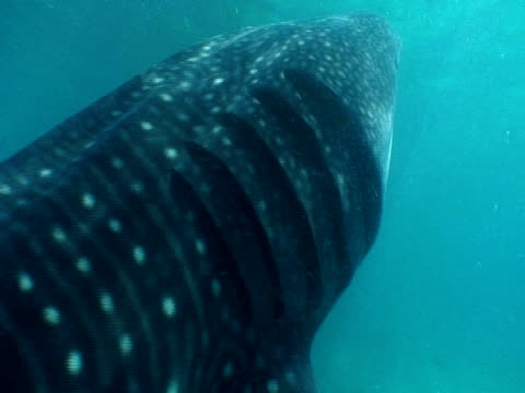whale shark (rhincodon typus) gills and plankton, cu and zoom out, maldives - gill stock videos & royalty-free footage
