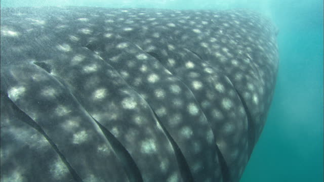 whale shark, gills on side, mozambique  - gill stock videos & royalty-free footage