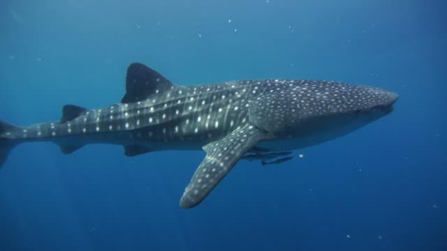 whale shark in nabire, west papua, indonesia - walhai stock-videos und b-roll-filmmaterial