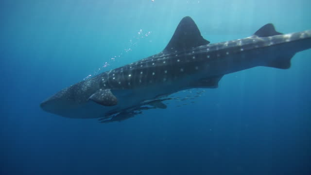 whale shark in nabire, west papua, indonesia - remora fish stock videos & royalty-free footage