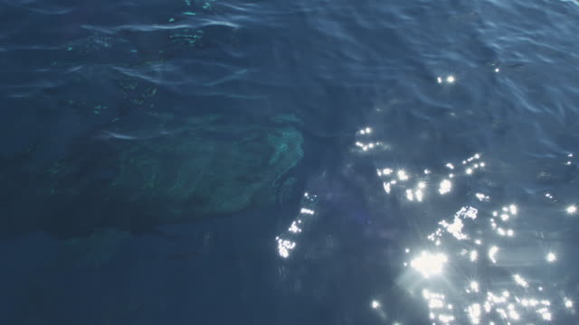 Whale shark near boat and diver, Indonesia, 2012