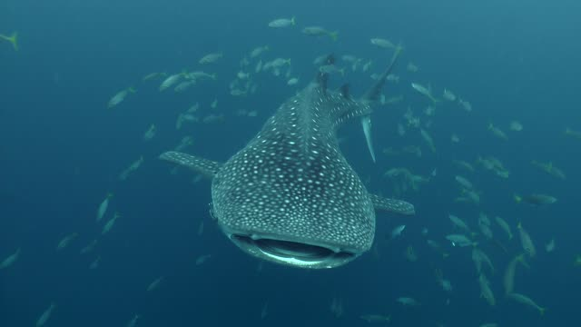 Whale shark open the big mouth in front of the camera swimming in the ocean
