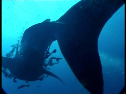 ms whale shark, rhincodon typus, swimming with shoal of remoras, underwater view, australia - 共生関係点の映像素材/bロール