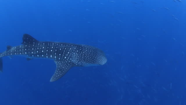 A Whale Shark Surrounded by Schools of Tuna, Utila Bay Islands Honduras