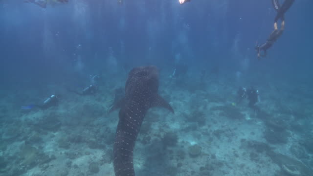 whale shark (rhincodon typus) surrounded by scuba divers and tourists, maamigili, south ari atoll, the maldives - ari atoll stock videos & royalty-free footage