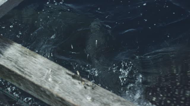 ECU whale shark swallows small fish, Indonesia, 2012